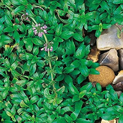 400 Seeds Pennyroyal Upright Suffolk Herbs