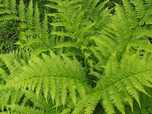 Lady Fern 1025 Spores (Seeds FILIX FEMINA, Cold Hardy, Large UP to 3