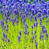 Outsidepride Lavender Munstead Herb Seed - 4000 Seeds