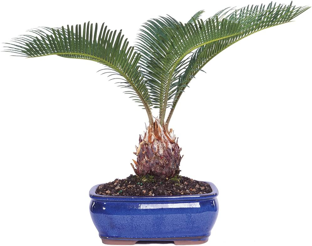 "Brussel's Live Sego Palm Indoor Bonsai Tree - 7 Years Old; 8"" to 12"" Tall with Decorative Container"