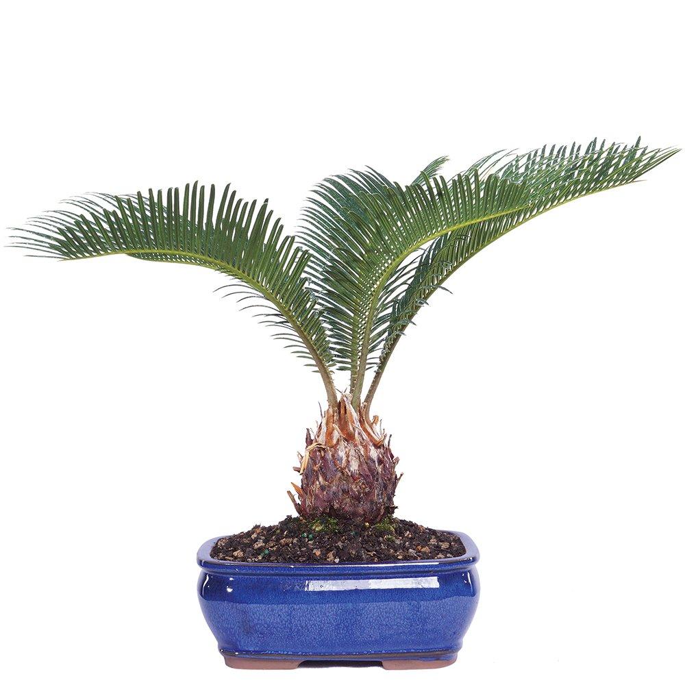 Brussel's Sego Palm Bonsai - Medium - (Indoor)