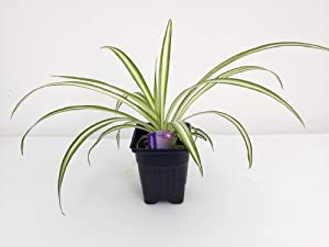 Ocean Spider Plant - Easy to Grow - Cleans the Air -NEW