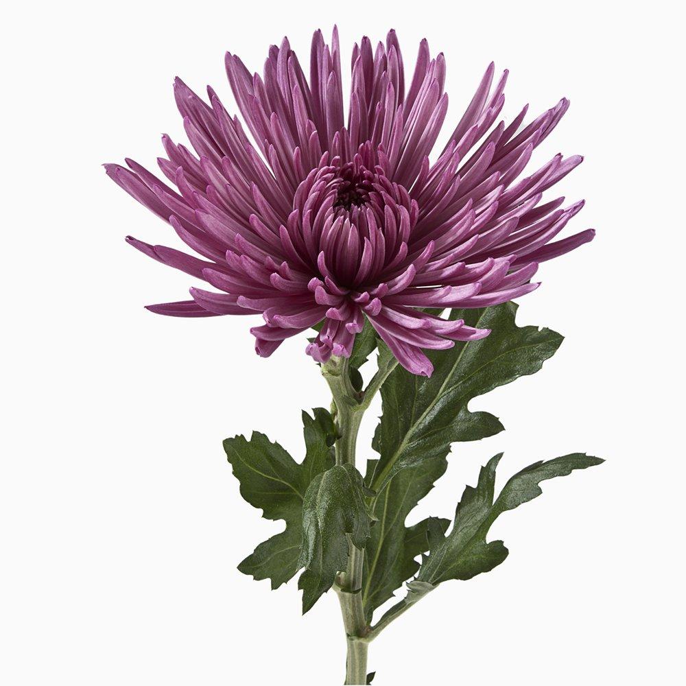eFlowy - 100 Purple Spider Mums (Chrysanthemum) Wholesale Fresh Cut from the Farm by eFlowy