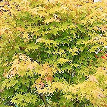 Acer Palmatum Bi Hoo 17cm Pot Size Amazoncouk Garden Outdoors