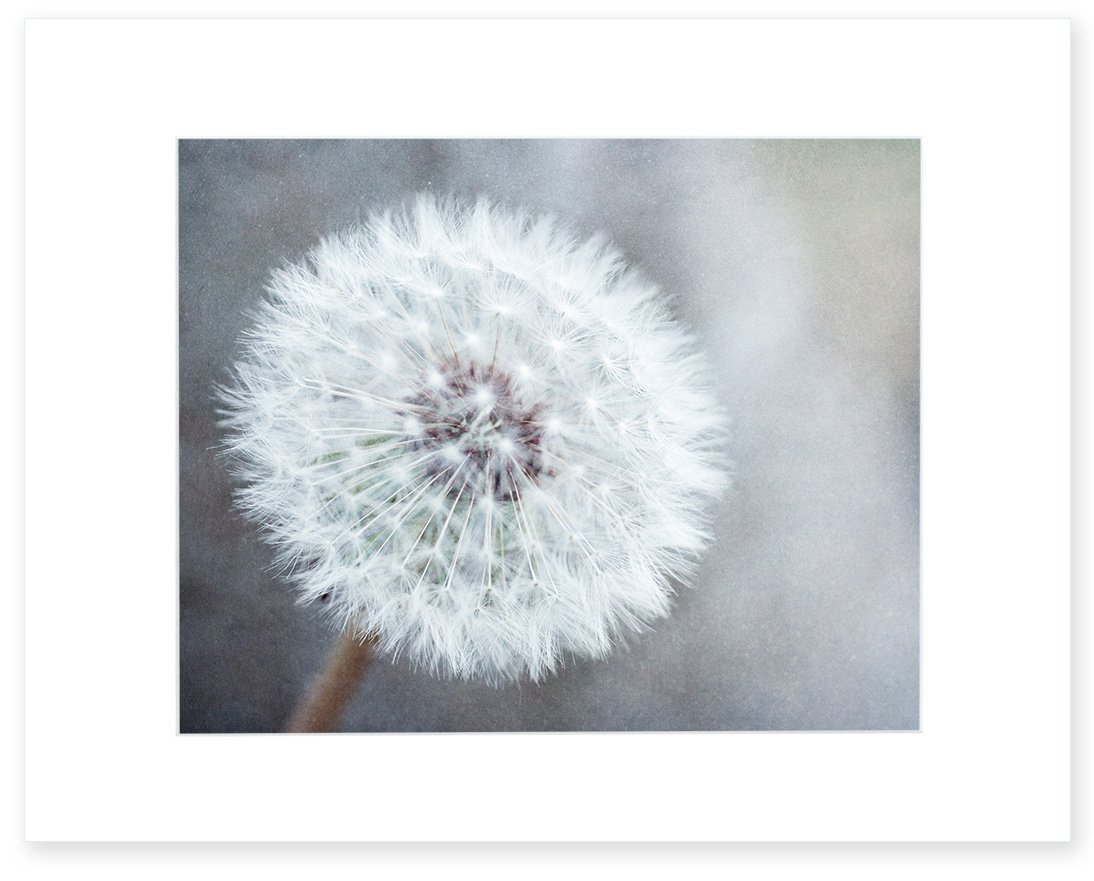 Dandelion Flower Picture Wall Art, Neutral Grey Floral Wall Decor, 8x10 Matted Photographic Print (fits 11x14 frame) 'Dandelion King'