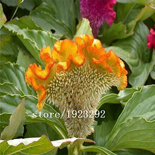 500 Cockscomb (Celosia Seeds) - Color de la mezcla, jardín de DIY planta de flor, color brillante, : Amazon.es: Jardín