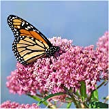 Package of 100 Seeds, Swamp Milkweed (Asclepias incarnata) Open Pollinated Seeds by Seed Needs USA