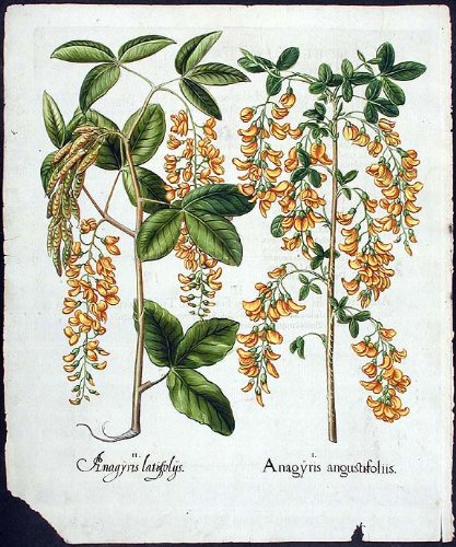 (Laburnum (false ebony); Alpine laburnum)