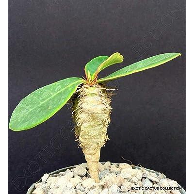 "Toyensnow - Euphorbia NEOHUMBERTII Blue Leaf Succulent Cacti Madagascar Palm Plant Cactus (4"" Pot) : Garden & Outdoor"