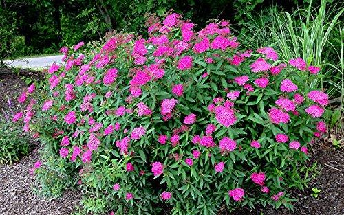 Anthony Waterer Spirea (1 Starter Plant of Anthony Waterer Spirea)