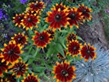 200 RED SPORT RUDBECKIA Red & Yellow Flower Seeds *Comb S/H