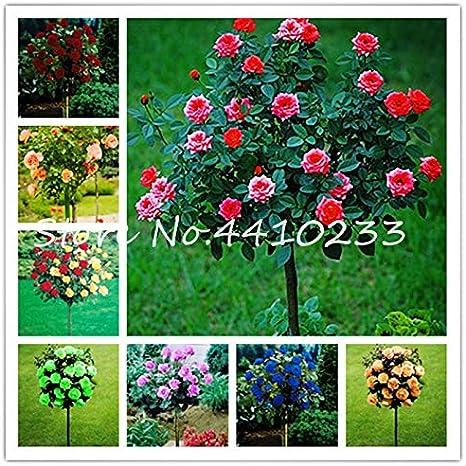 Pinkdose 200 piezas Bonsai multicolor Rosal Bonsai Floración al aire libre Planta de semillero en maceta Flore Variar selección de colores Jardín Plantas trepadoras: 100 piezas: Amazon.es: Jardín