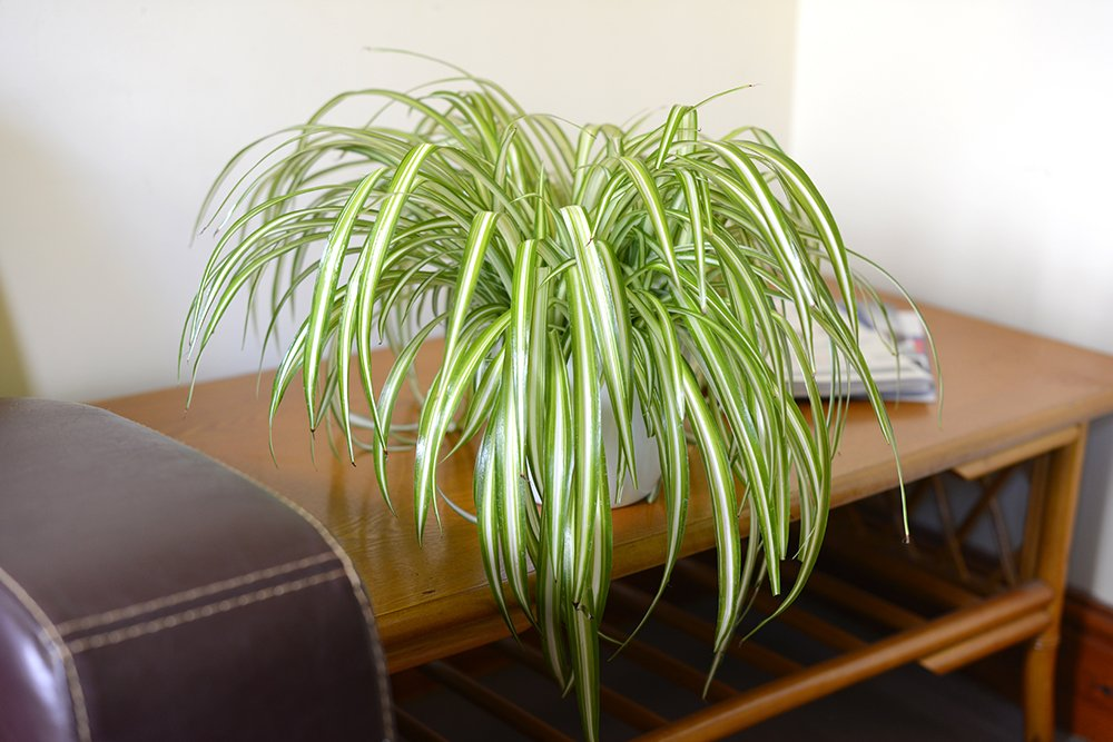 Image result for spider plant