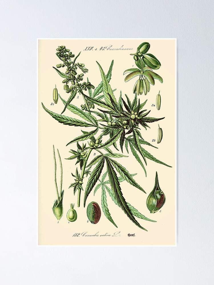 Cannabis Sativa - Póster de ilustración botánica vintage para decoración de oficina, dormitorio, aula, gimnasio y besties lgbt, vacaciones, gran arte de pared inspirador