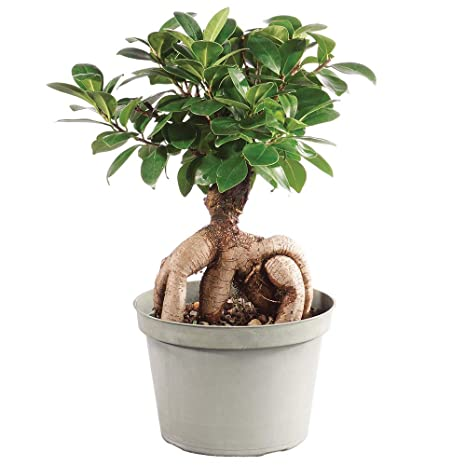 Amazon Com Brussel S Bonsai Live Gensing Grafted Ficus Indoor