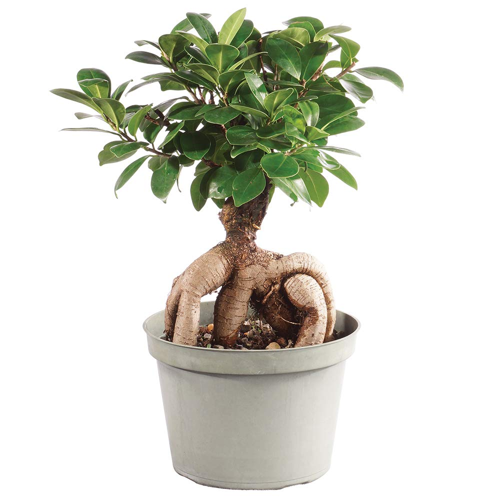 Brussel's Bonsai Live Gensing Grafted Ficus Indoor Bonsai Tree - 6 Years Old 8'' to 12'' Tall with Plastic Grower Pot, Medium,