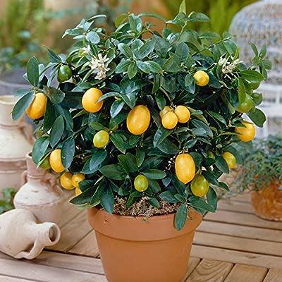 20 Seeds Dwarf Lemon Tree Seeds--Outdoor Plant, DIY Home Garden Bonsai, fragrant : Garden & Outdoor