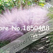 2016 New! 100pcs/Muhly Grass seeds,Rare plant home gardens ornamental grass seed,Muhly Grass Hairawn Gulf pampas Grass