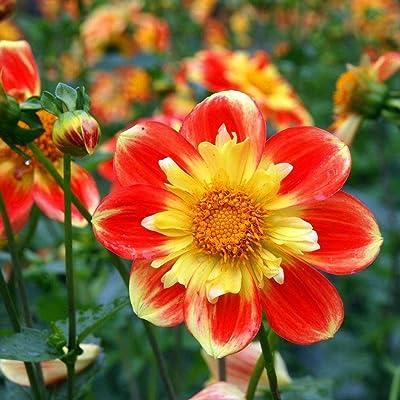 Oliote 50Pcs Rare Dahlia Seeds Perennial Bonsai Flower Potted Plant Seeds Garden Flowers : Garden & Outdoor
