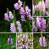 XKSIKjian's Garden 30Pcs Physostegia Virginiana Seeds Ornamental Plant Home Office Decor Non-GMO Seeds Open Pollinated Seeds for Planting - Physostegia Virginiana Seeds