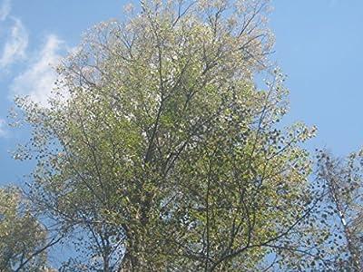 Linden Seeds - Tilia Sibirica - 1,000 Seeds Pack