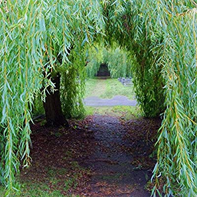 Willow Tree Seeds Potted Willow Tree Bonsai Plant Salix Babylonica Green Tree Garden 100Pcs : Garden & Outdoor
