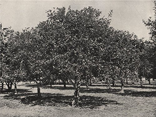 ST. AUGUSTINE. An orange grove near the city. Florida - 1895 - old print - antique print - vintage print - Florida art ()
