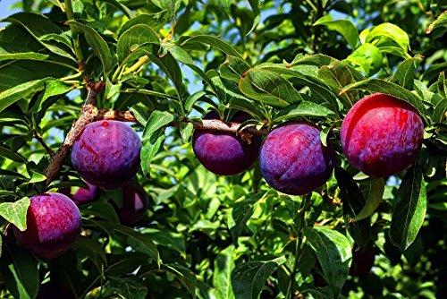 1 Bare Root of Santa Rosa Plum Tree 6-7' (1'' caliper - Fruiting Size) by MULFI_DRFRDA