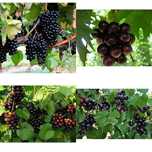 SS0144 4 Grape Live Plant Fruit Southern Home Four Plants 2'' Pot Outdoor Garden Yard NEW by SS0144 (Image #1)