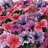 Annual: DADDY MIX PETUNIA Seeds Blue Veined Blooms High Quality & Germination (30-35 seeds)
