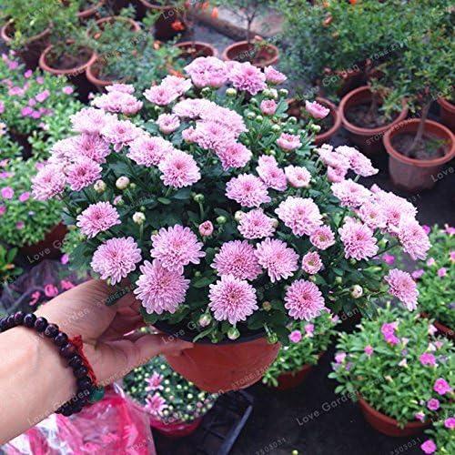 SwansGreen 100 semillas de las PC del crisantemo Bonsai Semillas Semillas hermosas flores perennes Inicio Jardín de plantas Semillas spray crisantemo 7: Amazon.es: Jardín