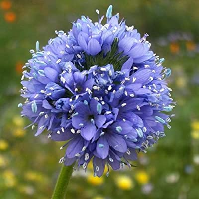 David's Garden Seeds Flower Globe Gilia (Multi) 500 Non-GMO, Heirloom Seeds : Garden & Outdoor