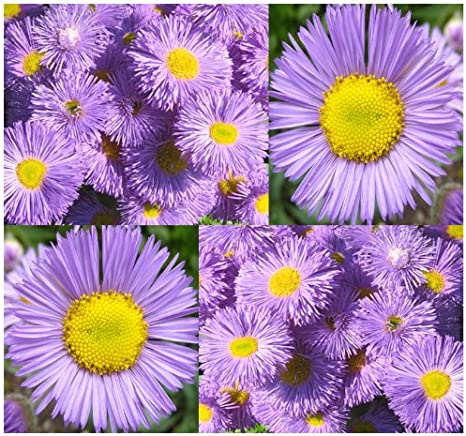 Erigeron speciosus seeds Pink flower seeds from Ukraine