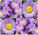 4 Packs x 800 Fleabane Daisy - Erigeron Speciosus FLOWER SEEDS - Aspen Fleabane - 1 TO 5 FEET TALL BLOOMS JUNE TO OCTOBER - By MySeeds.Co