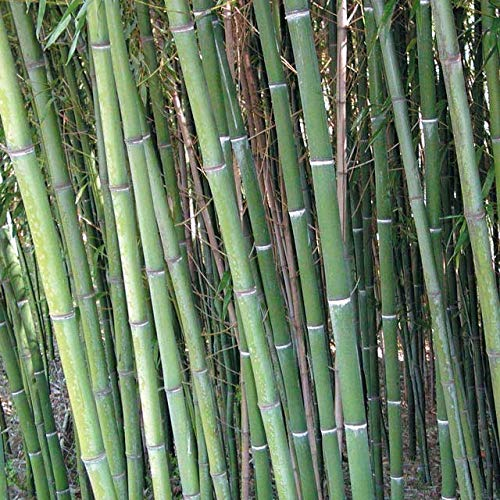 200+ Nude Sheath Bamboo Seeds Phyllostachys nuda Very Cold Hardy USA Seller