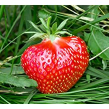 Fort Laramie Everbearing Strawberry Plants-Certified Disease & Virus Free - Bare Root Non-GMO Plants. (25 Plants)