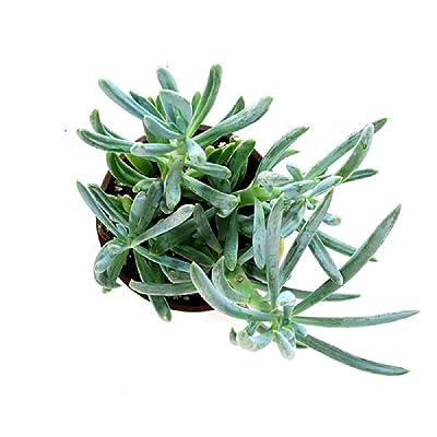 Blue Chalk Sticks Senecio Mandraliscae 2 Live Plant Succulent Garden tkena : Garden & Outdoor