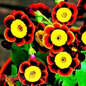 100 semillas / pack Liesl tricolor raras semillas de la petunia flor anual, las floraciones y de Bellas Frosting