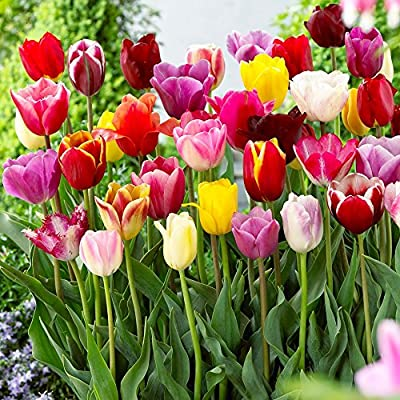 Tulip Bulbs Darwin Mixed Colors - 25 Bulbs - FlowerBulbs Quality!