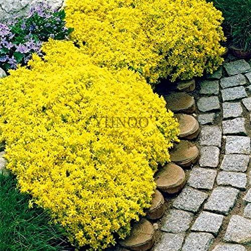 Semillas 2030Pcs berro de roca de escalada Semillas tomillo rastrero Flores Perenne flor cubierta de tierra para jardín: 50Pcs 006153: Amazon.es: Jardín