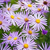 New York Aster novi-belgii Flower 200 Seeds