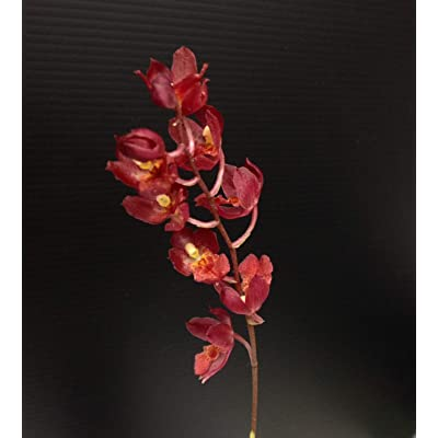 Orchid Insanity - Hwra Lava Burst Pacific Sunrise - Super Easy to Grow and Bloom, Cute Miniature Orchid, Mildly Fragrant, Lots of Fun! (NOT in Bloom/Bud When Shipped): Garden & Outdoor