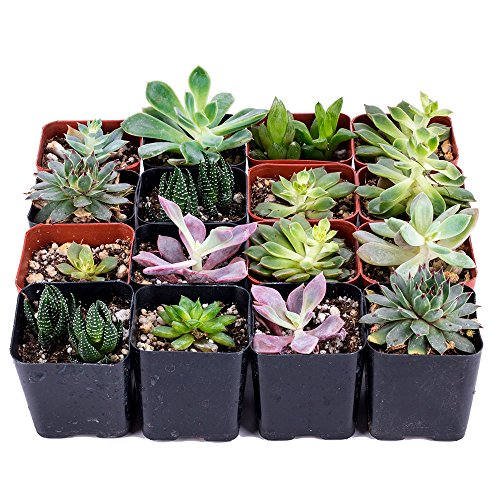 Decoblooms Succulent Bulk Pack, 16 Count (pack Of 16) by DecoBlooms