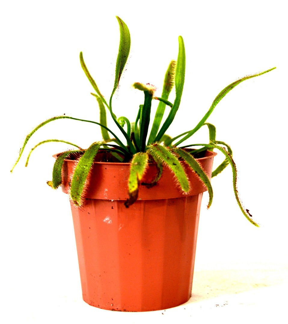 New and Fresh Cape Sundew Plant - Drosera capensis - Carnivorous - Gift Mature Holiday 3'' Pot by ctgrower (Image #2)