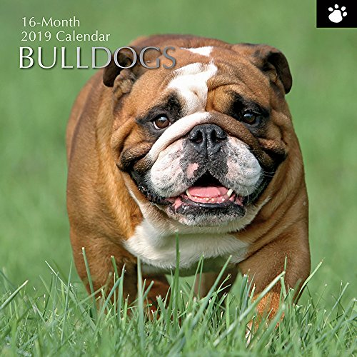 2019 Wall Calendar - Bulldog Calendar, 12 x 12 Inch Monthly View, 16-Month, Dogs and Pets Theme, Includes 180 Reminder Stickers
