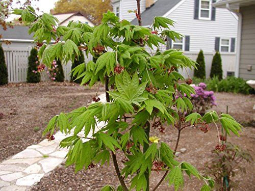 Korean Maple - Tolerates Extreme Cold, Surviving In Climates Where Japanese Maples Cannot, Hardy to -40F - 2 Year Live Plant by Japanese Maples and Evergreens (Image #6)
