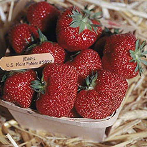 50 Jewel Strawberry Plants Organically Grown Superb ()