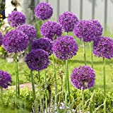 Allium Gladiator - 20 Flower Bulbs - Buy in Bulk and Save from Longfield Gardens