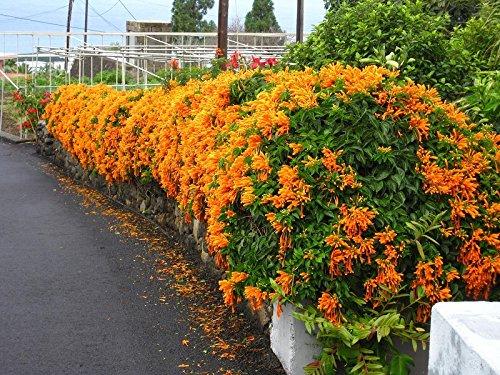 Siam Garden Trumpet Vine(Orange)
