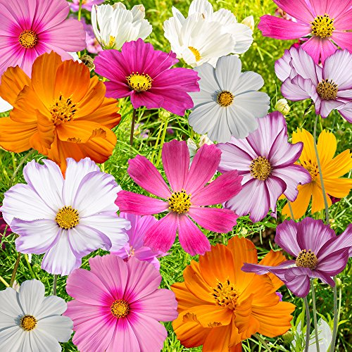 Bulk Package of 7,000 Seeds, Crazy Mix Cosmos (Cosmos bipinnatus) Non-GMO Seeds by Seed ()